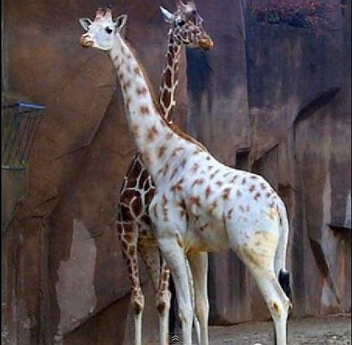 Żyrafa Omo bez problemu integruje się z innymi żyrafami