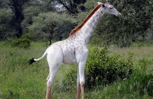 Żyrafa Omo cierpiąca na leucyzm