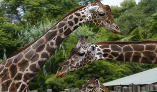 Żyrafy o normalnym umaszczeniu