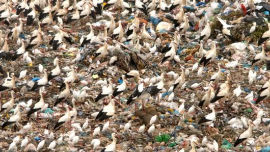Bociany na wysypiskach śmieci