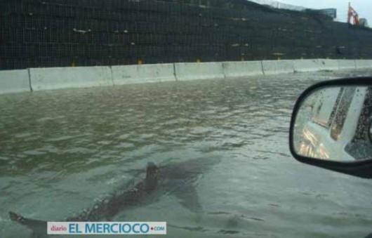 Rekin widziany był na drodze, przy ujściu rzeki Guayas