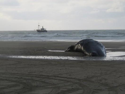 Holandia - Pięć martwych wielorybów na plaży w pobliżu Den Hoorn -2