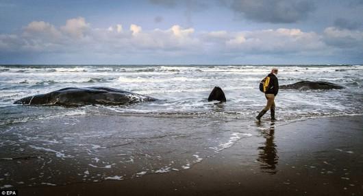 Holandia - Pięć martwych wielorybów na plaży w pobliżu Den Hoorn -4