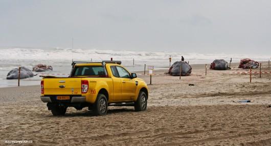 Holandia - Pięć martwych wielorybów na plaży w pobliżu Den Hoorn -5