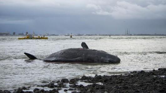 Holandia - Pięć martwych wielorybów na plaży w pobliżu Den Hoorn