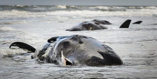 Berging van aangespoelde potvissen op Texel