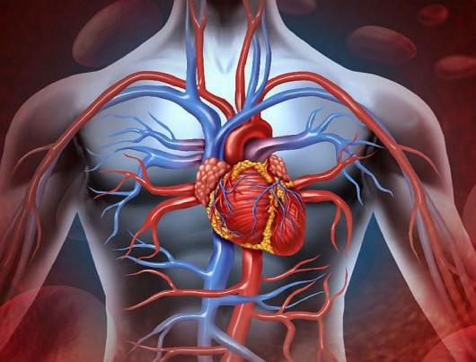 Serce może zmienić kształt przy braku grawitacji
