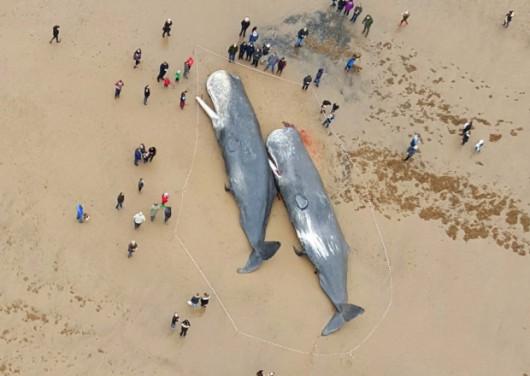UK - Trzy martwe kaszaloty na plaży w okolicach Skegness -2