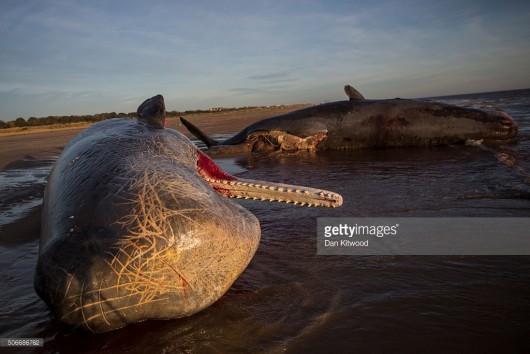 UK - Trzy martwe kaszaloty na plaży w okolicach Skegness -3