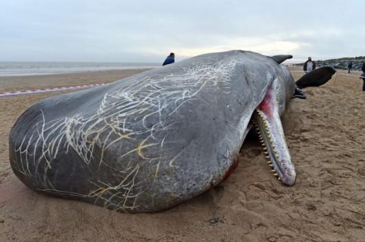 UK - Trzy martwe kaszaloty na plaży w okolicach Skegness -4