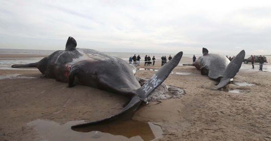 Two sperm whales lie on the sand after being washed ashore at Skegness beach in Skegness