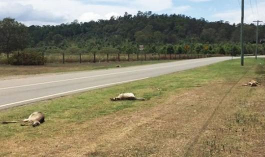 Australia - Na przedmieściach Brisbane ktoś specjalnie rozjechał 17 kangurów -1