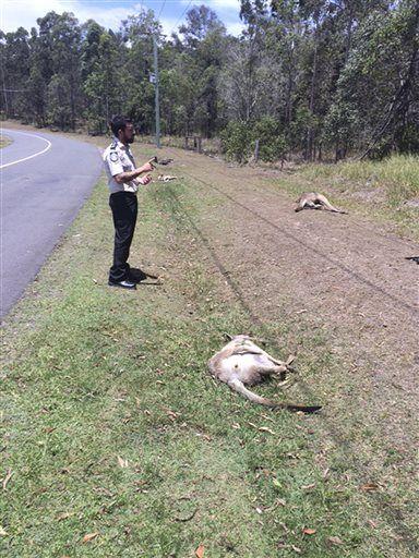 Australia - Na przedmieściach Brisbane ktoś specjalnie rozjechał 17 kangurów -2
