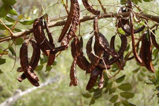 Karob - może zastąpić kakao