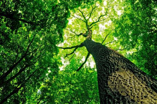 Miodla indyjska - szybko rosnące drzewo osiągające wysokość nawet 40 m