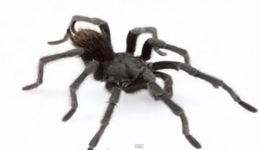 Nowo odkryty gatunek pająka - dorosły samiec Aphonopelma johnnycashi - ma czarne ubarwienie