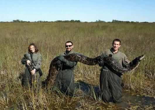 Polowanie na pytony na Florydzie