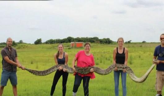 Polowanie na pytony na Florydzie - trafiały się okazy ponad 5 m długości