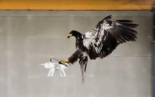 Szkolenie orłów w walce z dronami Foto/YT