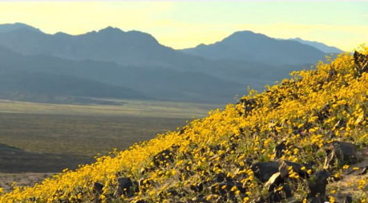 W Dolinie Śmierci zakwitły kwiaty
