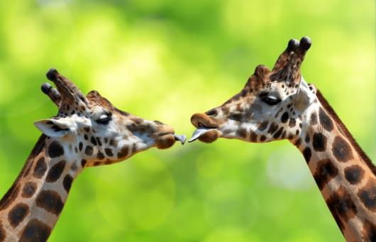 Z miłością jest jak z żyrafą