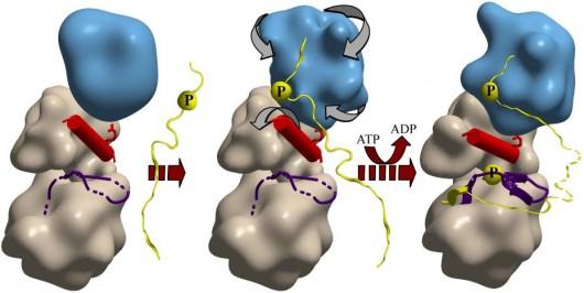 Kinazy białkowe, WikiPedia.org