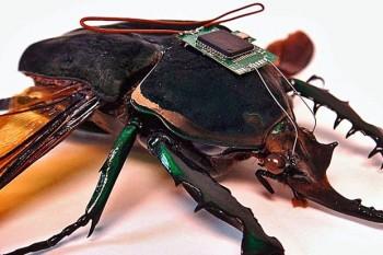 Naukowcom udało się w prosty sposób zdalnie sterować ogromnymi chrząszczami -2