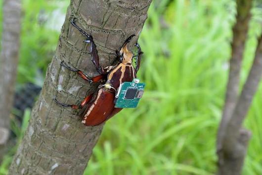 Naukowcom udało się w prosty sposób zdalnie sterować ogromnymi chrząszczami -3