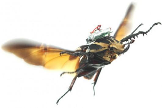 Naukowcom udało się w prosty sposób zdalnie sterować ogromnymi chrząszczami