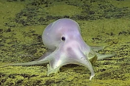 Ośmiornica Casper Octopus