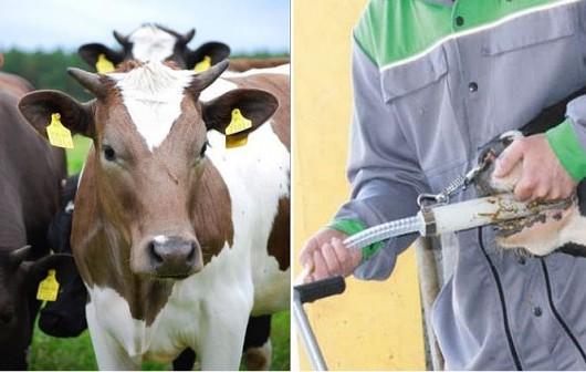 UE chce wprowadzić zakaz faszerowania zwierząt antybiotykami