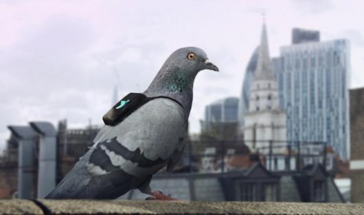 UK - Gołębie z czujnikami i GPS zmierzyły jakość powietrza w Londynie