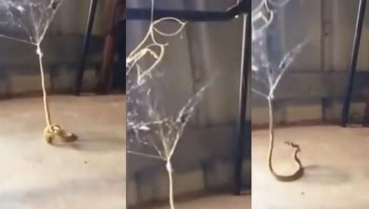 Wąż w sieci pająka