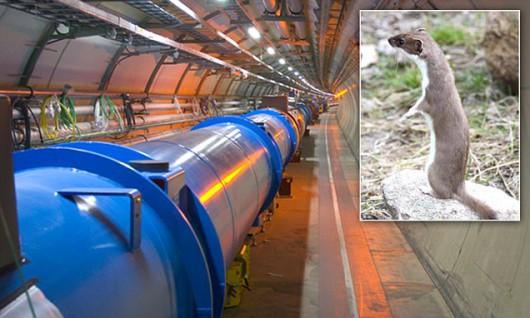 Łasica i LHC