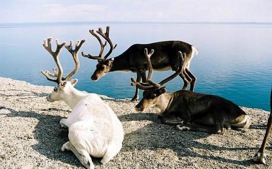 Ciała renifery w Norwegii są napromieniowane