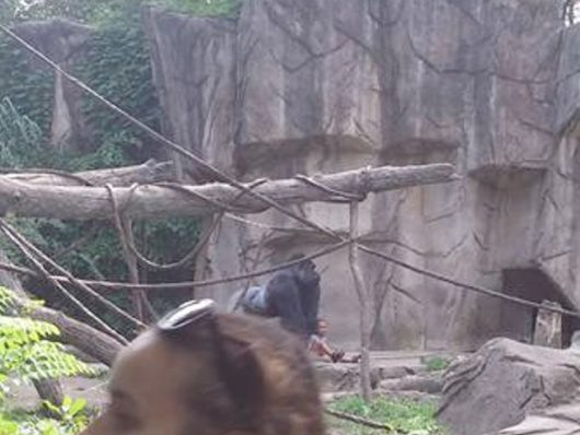 Cincinnati, USA - Zabito 17-letniego goryla zagrożonego wyginięciem -2