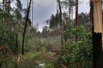 Dębno, Polska - Połamany las, drzewa powyrywane z korzeniami -1