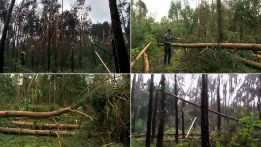 Dębno, Polska - Połamany las, drzewa powyrywane z korzeniami -2