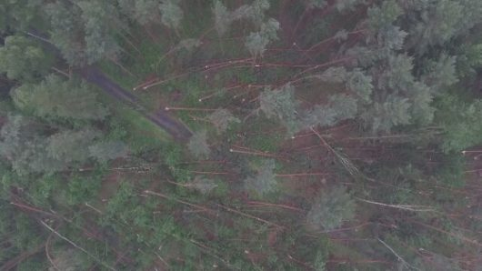 Dębno, Polska - Połamany las, drzewa powyrywane z korzeniami -3
