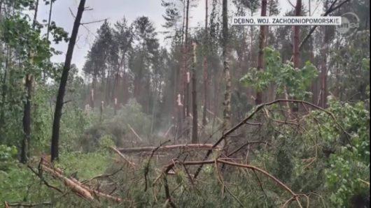 Dębno, Polska - Połamany las, drzewa powyrywane z korzeniami -4
