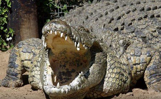 Na Florydzie natrafiono na krokodyle ludojady