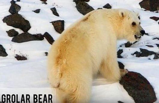 Niedźwiedź hybryda