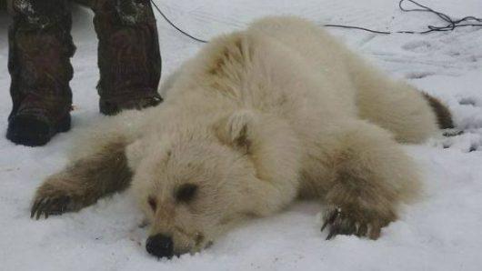 Niedźwiedź hybryda upolowany przez Didji Ishalook'a