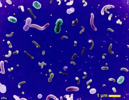 Pelagibacterales