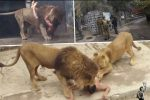 Santiago, Chile - W ogrodzie zoologicznym nagi mężczyzna wskoczył na wybieg dla lwów