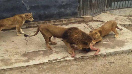 Santiago, Chile - W ogrodzie zoologicznym nagi mężczyzna wskoczył na wybieg dla lwów -2
