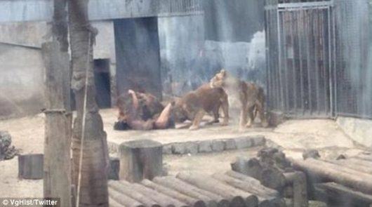 Santiago, Chile - W ogrodzie zoologicznym nagi mężczyzna wskoczył na wybieg dla lwów -3