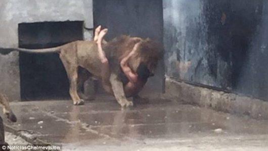 Santiago, Chile - W ogrodzie zoologicznym nagi mężczyzna wskoczył na wybieg dla lwów -4