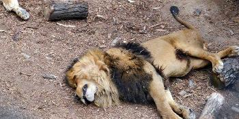 Santiago, Chile - W ogrodzie zoologicznym nagi mężczyzna wskoczył na wybieg dla lwów -5
