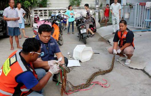 Tajlandia - Ogromny pyton zaatakował w toalecie, mężczyzna walczył pół godziny z przyssanym do penisa pytonem -2